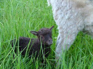 Black ram lamb